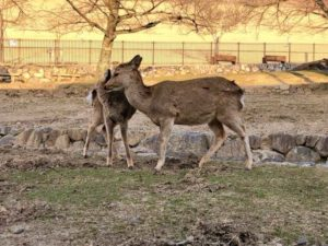 若草山の鹿の画像