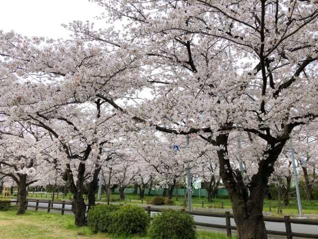 岩槻城址公園の桜の画像②